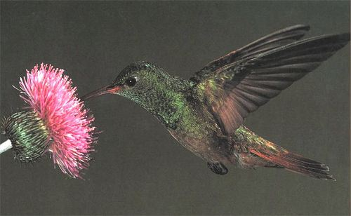 Buff-bellied Hummingbird, Amazilia yucatanensis, adult