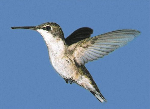 Ruby-throated Hummingbird, Archilochus colubris, adult female