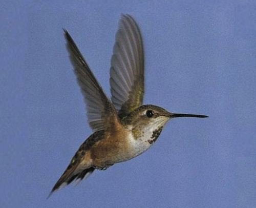 Rufous Hummingbird, Selasphorus rufus, adult female